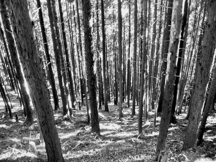 Mitakesan trees