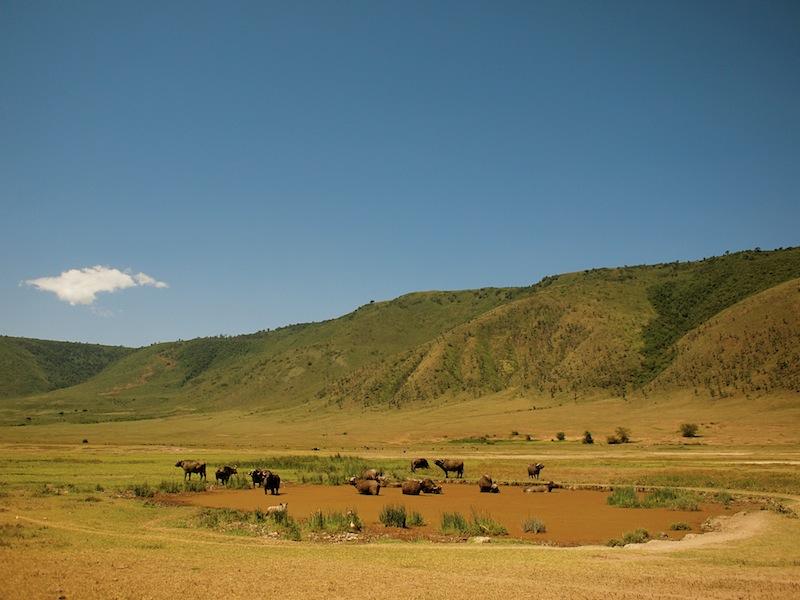 Water Buffalo Ngorongoro Tanzania