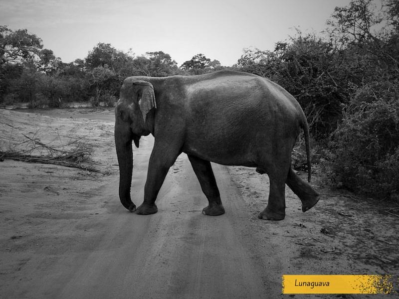 Elephant Yala National Park Sri Lanka